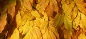 Autumn yellow leafs II — Stock Photo