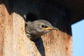 Young bird in birdhouse — Stock Photo