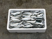 Fresh Mediterranean sardine, — Stock Photo