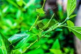 Tettigoniidae — Stok fotoğraf