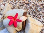 Plumeria spp. (Frangipani Blüten, Frangipani, Pagode Baum oder Te — Stockfoto