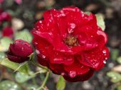 Gloomy red rose — Stock Photo
