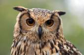 Portrait f a owl — Stock Photo