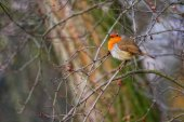 Robin — Photo