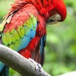 Scarlet macaw (Ara macao) perched upon a branch in the jungle.  — Stock Photo #70203163