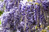 Beautiful purple wisteria flowers in spring — Stock Photo
