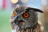 Portrait of a owl with red eyes — Stock Photo