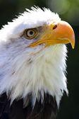 North American Bald Eagle — Zdjęcie stockowe