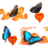 Collage of blue butterfly on red candy and orange petals — Stock Photo