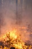 Forest fire in pine stand — Stock Photo
