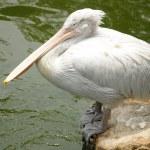 Pelican bird on wooden stump — Stock Photo #61014705