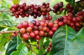 Coffee beans ripening — Stockfoto