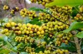 Coffee beans ripening — Stock Photo