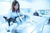 Young veterinarian examining cute siberian husky at hospital — Stock Photo
