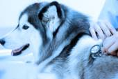 Veterinarian examining cute siberian husky at hospital — Stock Photo