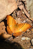 Orange Large yeoman butterfly on floor — Stock Photo