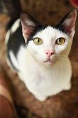 Portrait de chat thaï — Photo