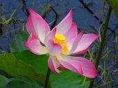 Pink lotus or water lily — Stock Photo