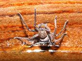 Poison spider — Stock Photo