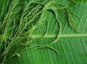 Climbing Wattle Acacia or Chaom — Stock Photo