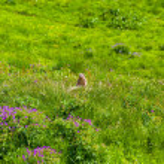 Marmot in an alpine meadow — Stock Photo #62762617