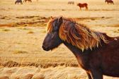 Icelandic horse on the field — Stock Photo