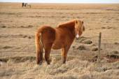 Light brown Icelandic horse on the field — Stock Photo