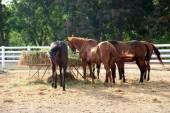 Feeding horses in stable — Stock Photo