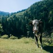 Brown cow in the Carpathian mountains — Stock Photo #60475875