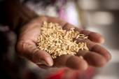 Rice in the hand — Stock Photo