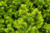 Spring, young pine branches arborvitae, conic, boxwood — Stock Photo