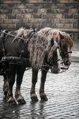 Retro, couple of horses on the stone street, Dresden, Germany — Foto Stock