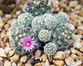 Cactus with flower — Stock Photo