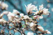 Magnolia blooming — Stock Photo