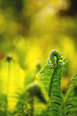 Single young fern — Stock Photo