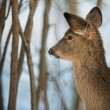 Winter Deer — Stock Photo #60541423