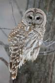 Barred Owl - Looking at Camera — Stock Photo