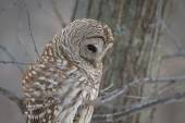 Barred Owl - Looking at Prey — Stock Photo