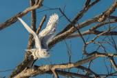 雪白的猫头鹰-飞出树 — 图库照片