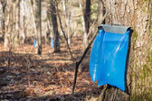 Maple Syrup Tapping in the Spring — Foto Stock