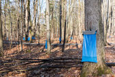 Maple Syrup Tapping in the Spring — Foto de Stock