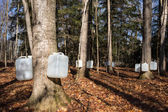 Tapping Sugar Maple Trees for Sap — Foto Stock