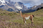 Guanaco in Torres del Paine National Park, Patagonia, Chile. — Stock Photo
