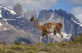 Guanaco in Torres del Paine National Park, Chile — Stock Photo