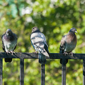 Rock doves on a fence — Stock Photo