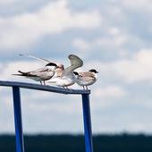 Seagulls on a parapet  — Stock Photo