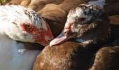 Pair of ducks — Stock Photo