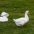 Geese on a green grass — Stock Photo #61282987