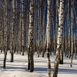 Winter in a birchwood — Stock Photo #61408657