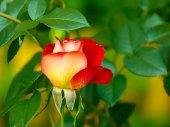 Bud of rose — Stock Photo